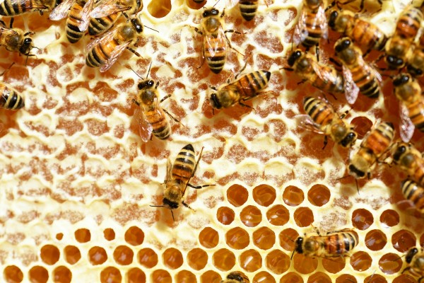 bees-345628_1920